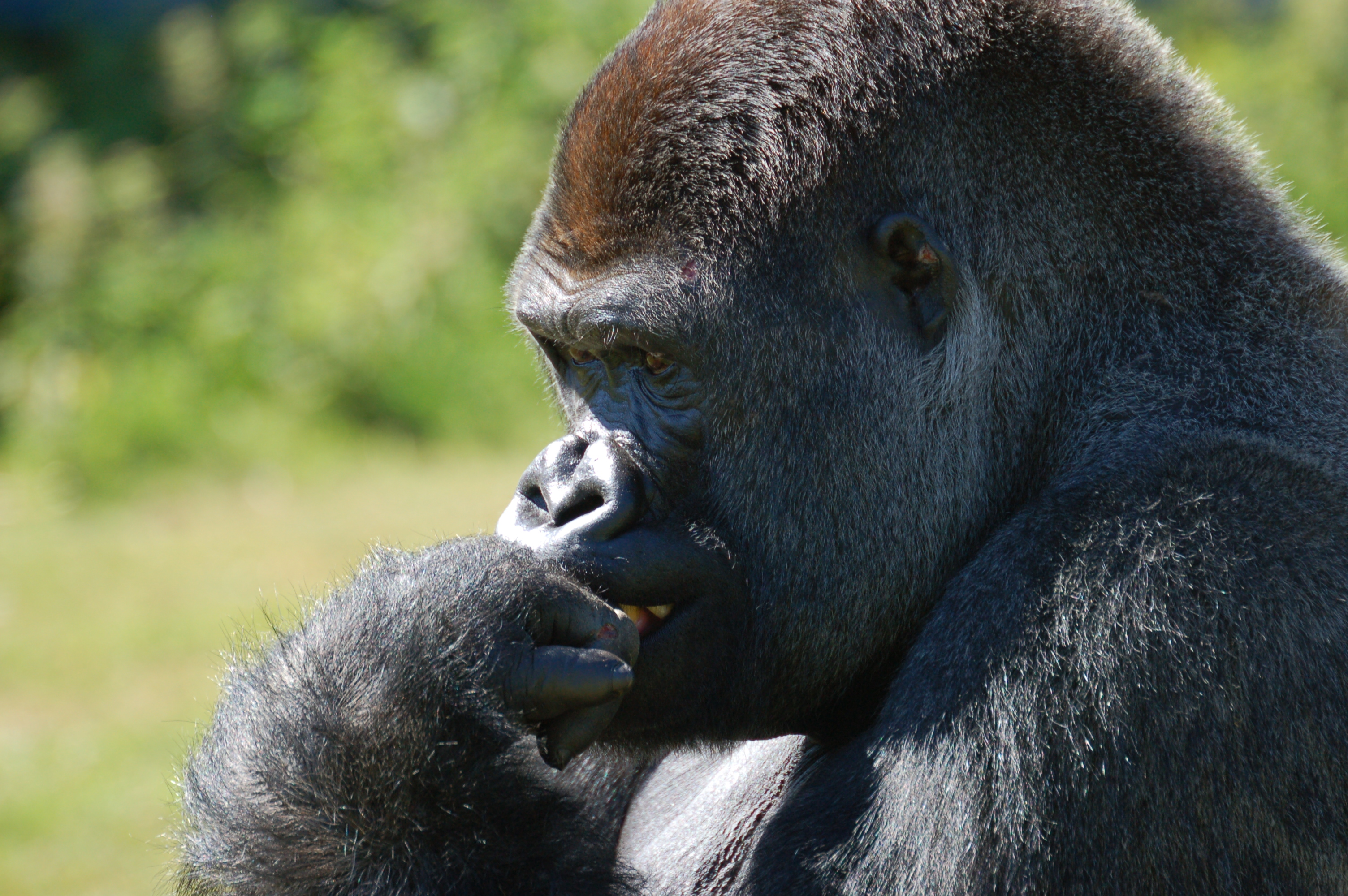 gorilla_port_lympne1